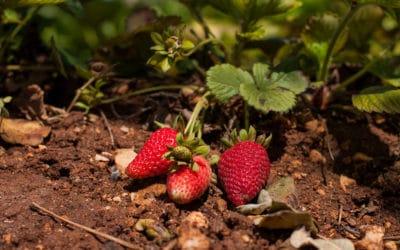 Agriturismo Menfi Erdbeeren aus dem Obstgarten (2)