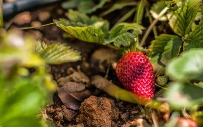 Agriturismo Menfi Erdbeeren aus dem Obstgarten