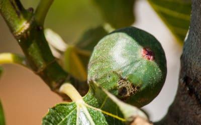 Agriturismo Menfi Feige aus dem Obstgarten