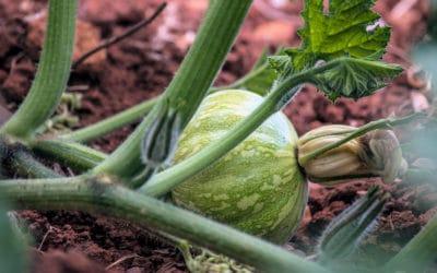 Agriturismo Menfi Zucchina aus dem Gemüsegarten