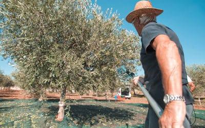 Olivenernte auf Sizilien