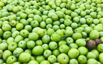 Olivenernte auf Sizilien (1)