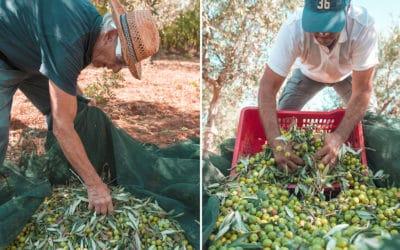 Olivenernte auf Sizilien (10)