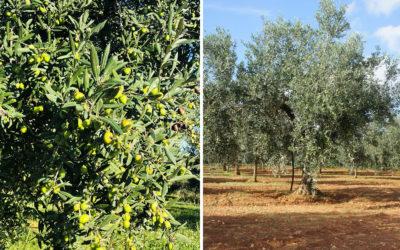 Olivenernte auf Sizilien (3)