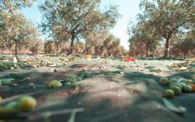 Olivenernte auf Sizilien (4)