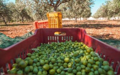 Olivenernte auf Sizilien (5)