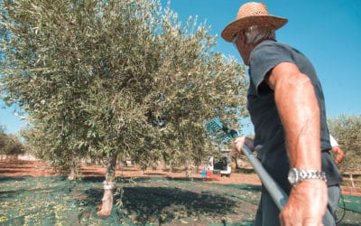 Olivenernte auf Sizilien (6)