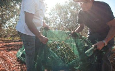 Olivenernte auf Sizilien (7)