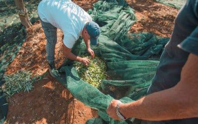 Olivenernte auf Sizilien (8)