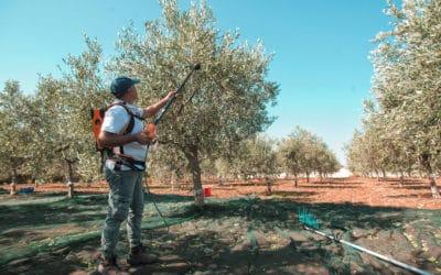 Olivenernte auf Sizilien (9)