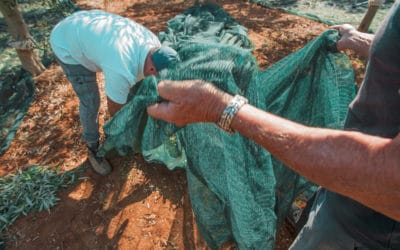 Olivenernte im Agriturismo (1)