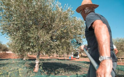 Olivenernte im Agriturismo (2)