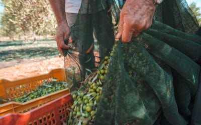 Olivenernte im Agriturismo (3)