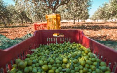 Olivenernte im Agriturismo (4)