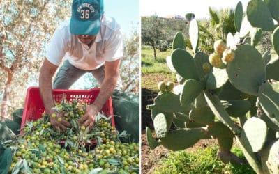 Olivenernte im Agriturismo (5)